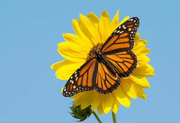 monarch-on-flower
